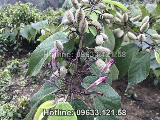 Hình ảnh cây an xoa hoa tím