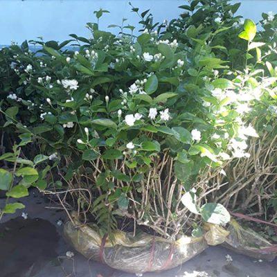 hoa nhài thường mọc thành bụi