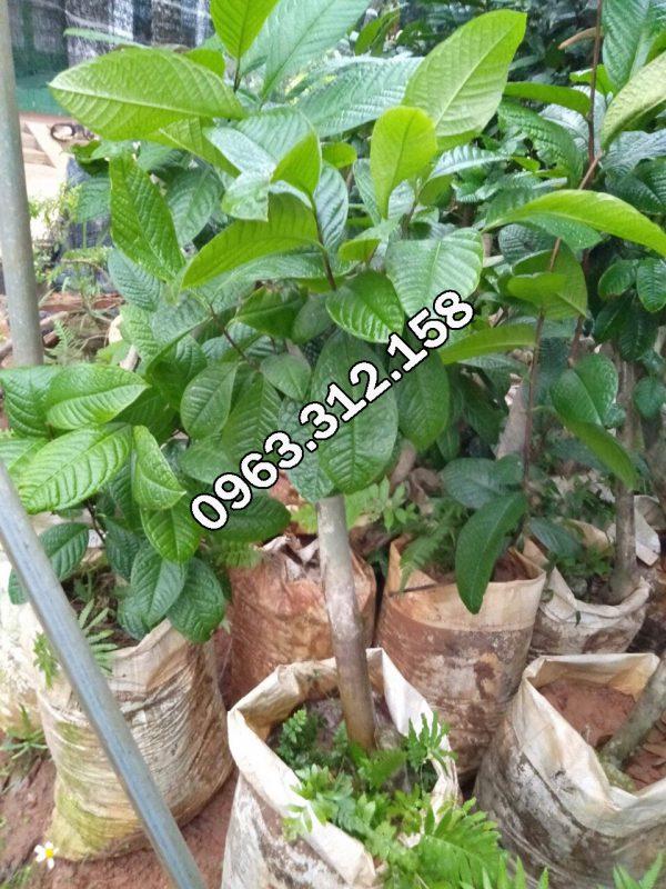 Địa chỉ chuyên cung cấp cây giống trà hoa vàng Tam Đảo chất lượng