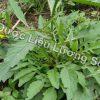 Hình ảnh cây cải trời