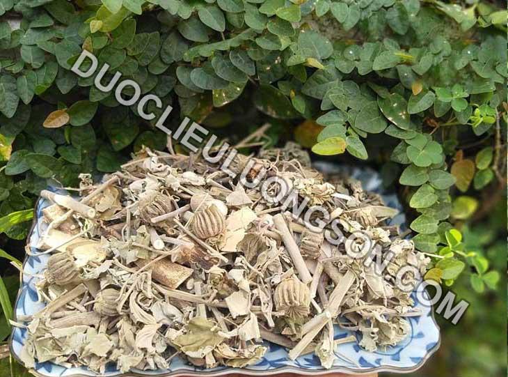 Cây cối xay - Vị thuốc hỗ trợ điều trị xương khớp, bệnh trĩ, tiểu buốt