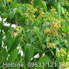 Hình ảnh cây hoàng bá