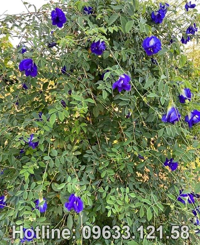 Hình ảnh hoa đậu biếc