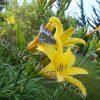 Hình ảnh hoa kim ngân