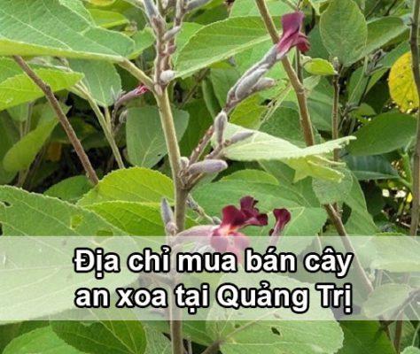 Địa chỉ mua bán cây an xoa tại Quảng Trị