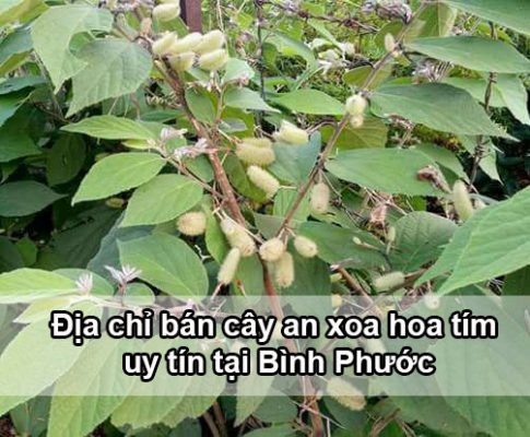 Địa chỉ mua bán cây an xoa tại Bình Phước
