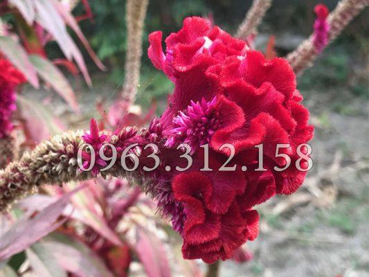 Những bộ phận thường dùng hoa mào gà đỏ