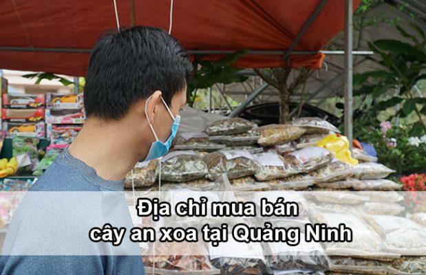 Địa chỉ mua bán cây an xoa tại Quảng Ninh