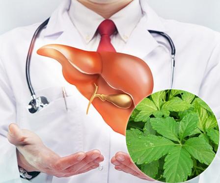 Giảo cổ lam hỗ trợ bệnh gan và phục hồi tổn thương gan