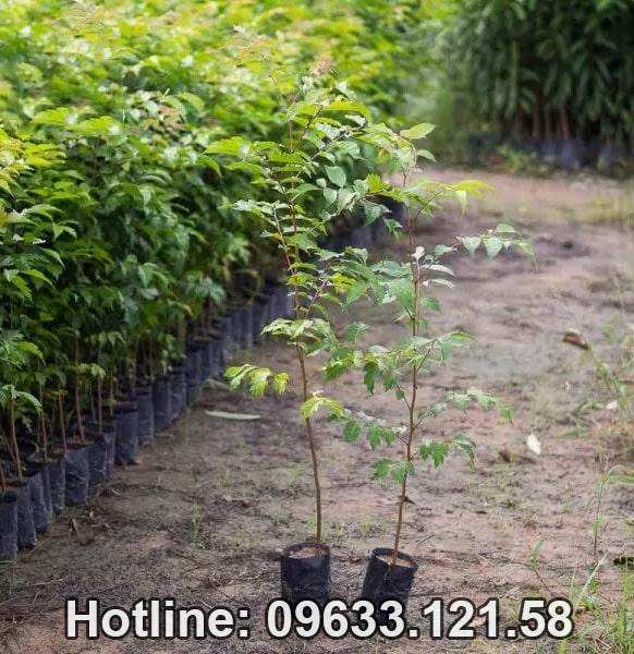 Cây giống lát hoa - Cây có giá trị cao