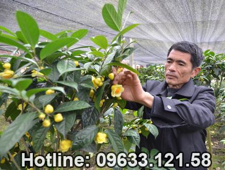 Những yếu tố quyết định đến giá của cây trà hoa vàng