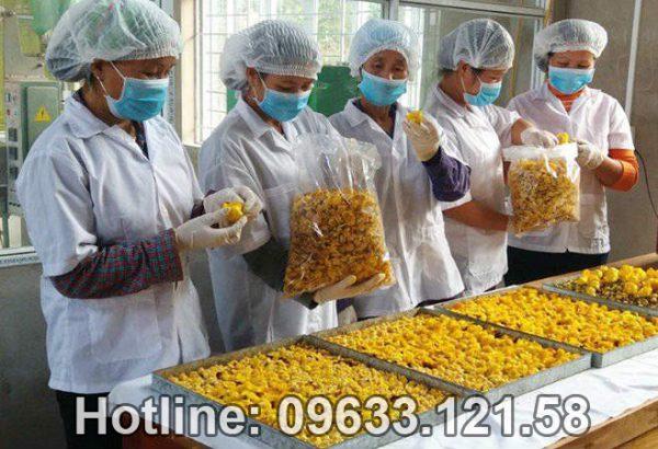 Hướng dẫn thu hoạch và cách chế biến trà hoa vàng Tam Đảo