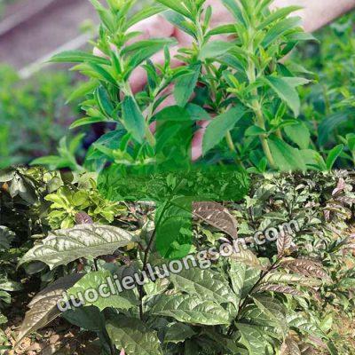 Dùng cây xạ đen với cây cỏ ngọt được không?
