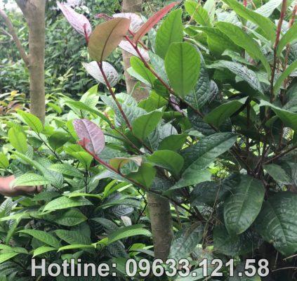 Giới thiệu về cây trà hoa vàng Ensis Tam Đảo