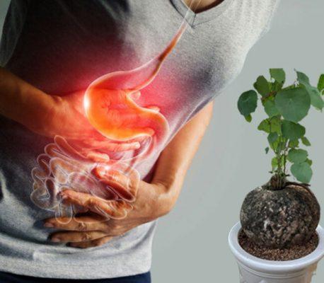 Củ bình vôi hỗ trợ điều trị viêm loét dạ dày tá tràng được không?