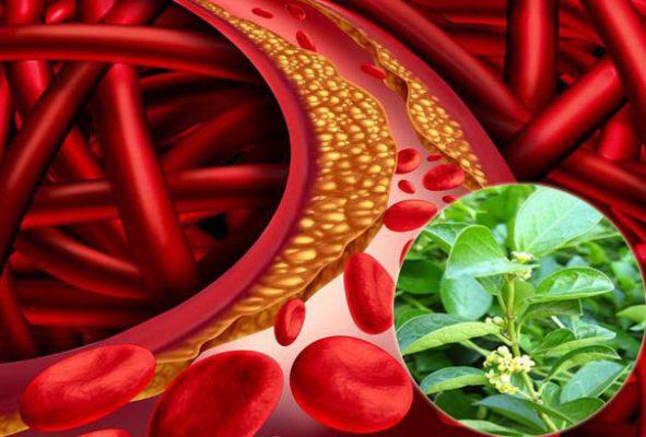 Dây thìa canh giúp giảm mỡ máu hiệu quả