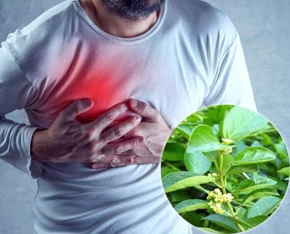 Dây thìa canh hỗ trợ giúp ổn định nhịp tim